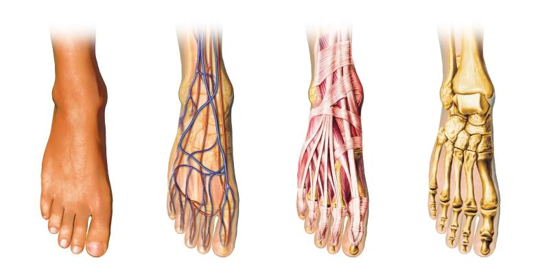 Foot Anatomy - Feet in Focus - Podiatry and Chiropody Clinic
